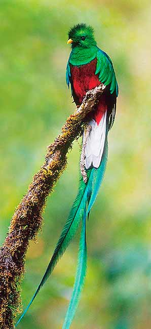 El Quetzal, el pájaro más lindo del mundo