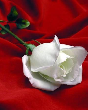 Cultivo una Rosa Blanca Rosa20blanco20con20rojosf6