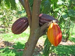 Planta de cacao. www.confiteriamarques.com