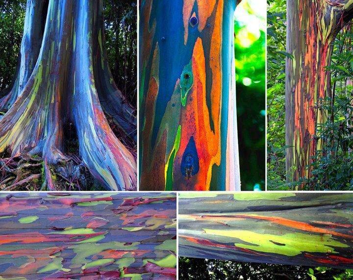 'El Eucalipto Arcoiris'
