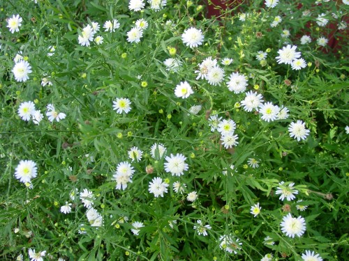 Japanese Asters