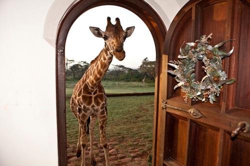 giraffe-manor-hotel-nairobi-kenya-africa-safari-15