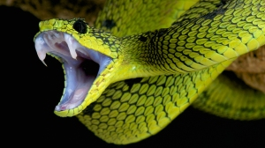 Snakes-fangs